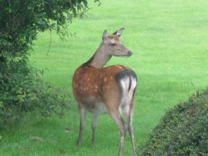 Deer Wicklow Mountains