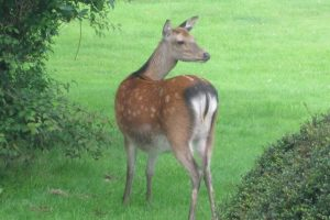 Deer Wicklow Mountains